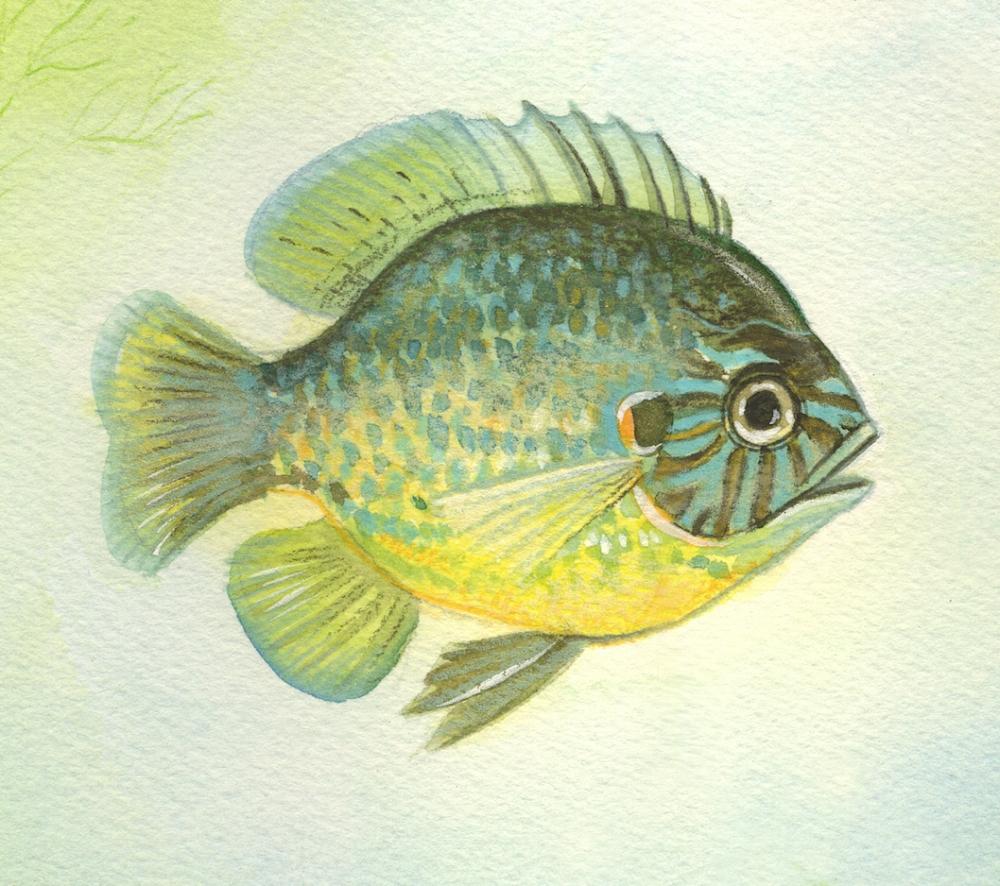 Heather Castles watercolour fish