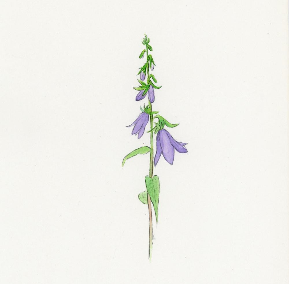 flower watercolour pencil canada sketch