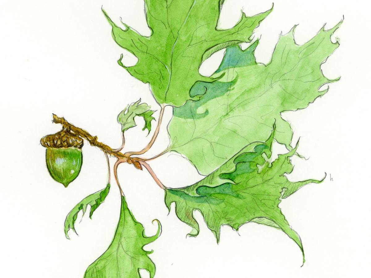 autumn watercolor green acorns