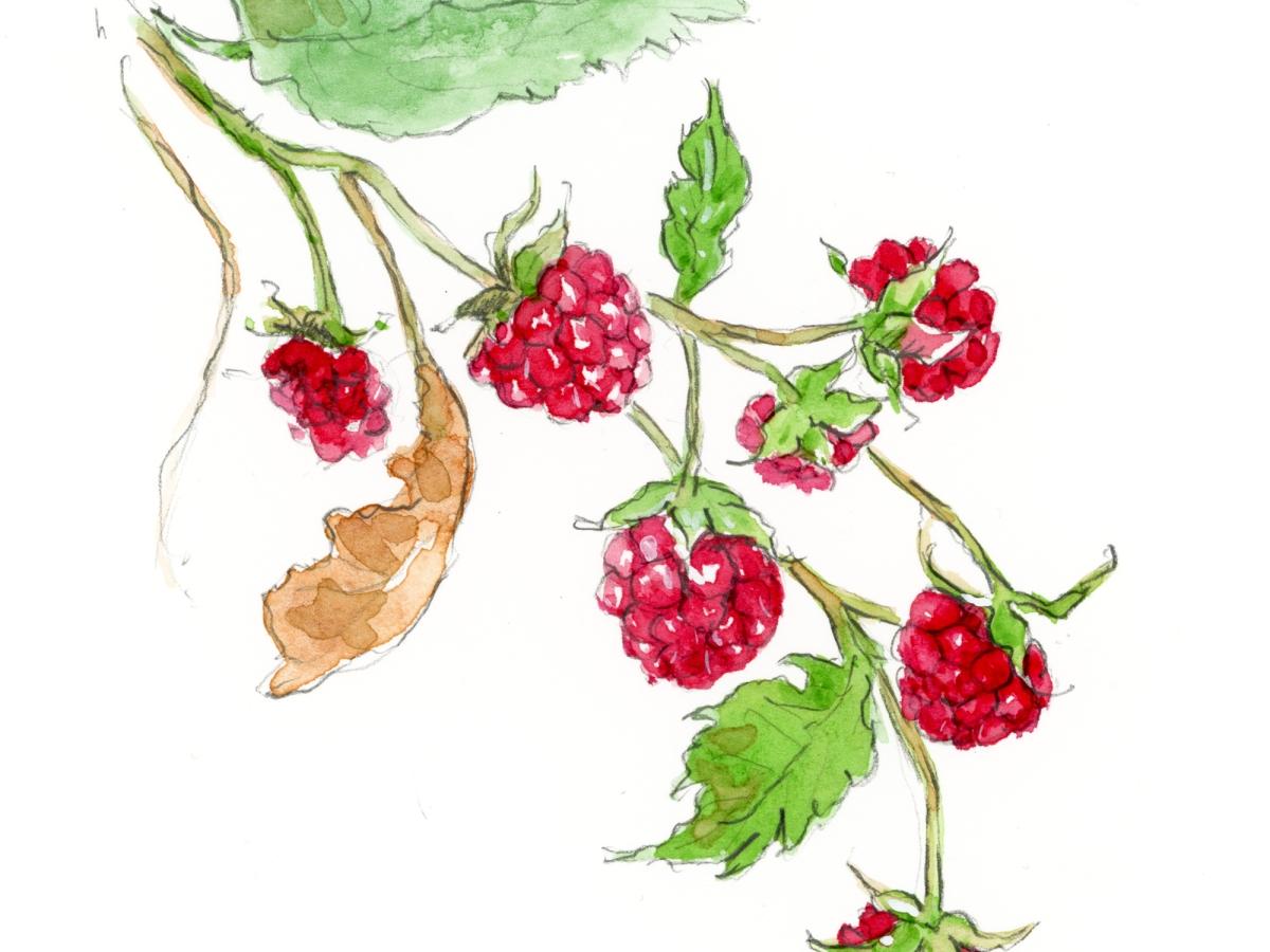 raspberry gardening illustration watercolor